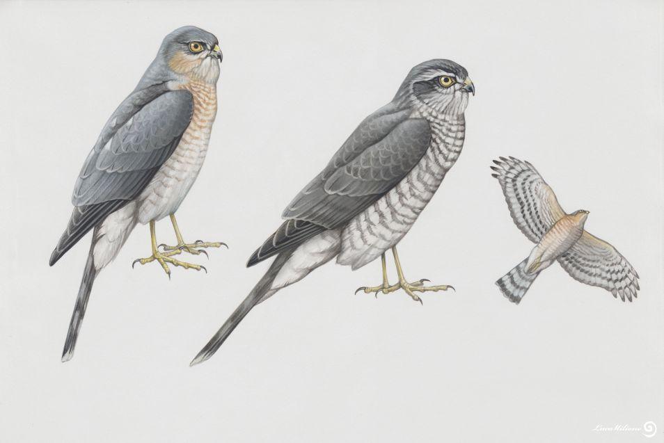 Luca Milione illustratore naturalistico